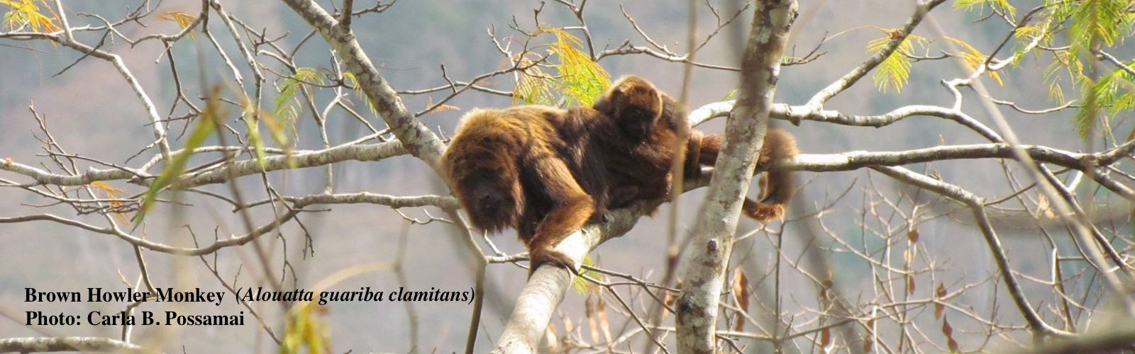 Brown Howler Monkey with baby