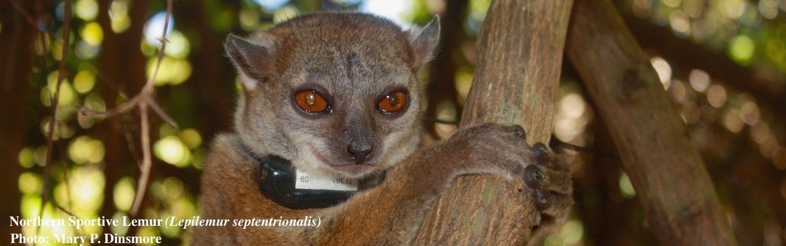 Northern Sportive Lemur resting