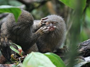 A photo of grooming pygmy marmosets